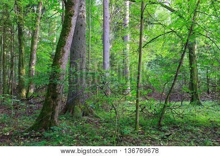 Natural mixed stands of Bialowieza Forest with some old trees, Bialowieza Forest, Poland, Europe