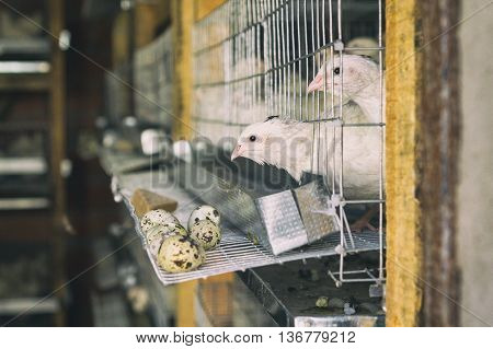 On Quail Farm Birds In Cages