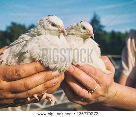 Two Quail In Human Hands