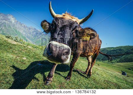 Gergeti Georgia - July 20 2015. Cow looks at camera near small Gergeti village