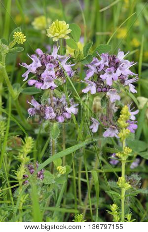 Wild Thyme - Thymus polytrichus with Hop Trefoil - Trifolium campestre and Ladys Bedstraw - Galium verum