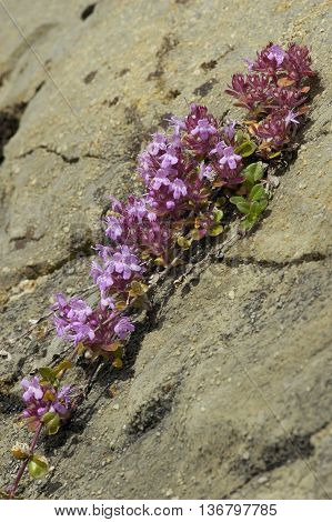 Wild Thyme - Thymus polytrichus growing is Swiss Alps