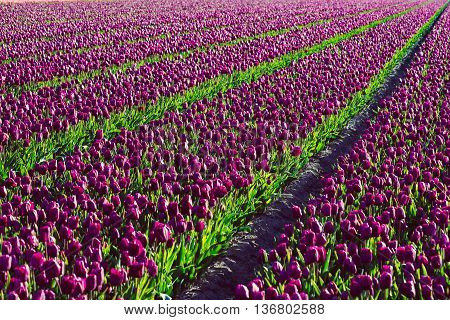 Tulip. Beautiful tulip field,. colorful tulips, tulips in spring in Holland