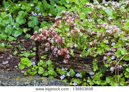 English stonecrop (Sedum anglicum) in rustic wood planter, ivy leaf toadflax in background, ideas for garden planting.