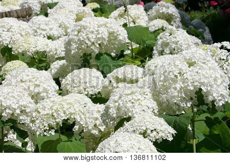 A white flowering hydrangea bush with many flowers