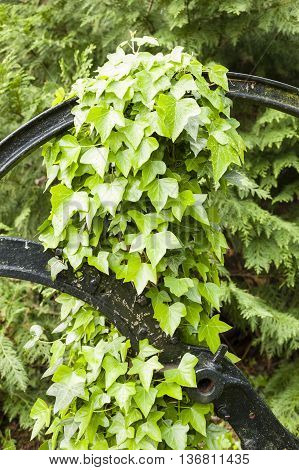 Hedera leaves commonly called ivy evergreen climbing or ground-creeping woody plants in the family Araliaceae poster