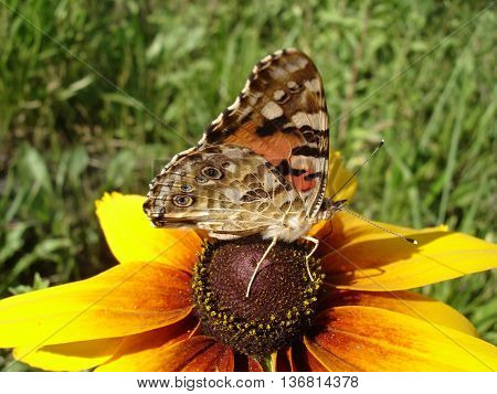 Vanessa cardui (painted lady) butterfly on a rudbeckia flower.