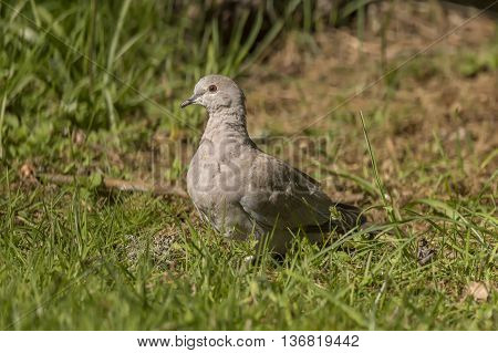 Collared Dove on the grass in a garden