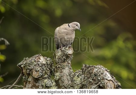 Collared Dove, Perched At The Top Of A Tree Trunk