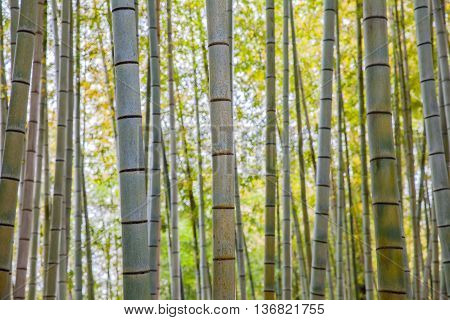 Beautiful bamboo forest at Arashiyama touristy district kyoto
