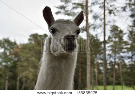 Head of a White llama (lama glama) in a park in the North of Sweden.