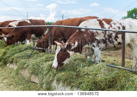 Cows on the farm in the paddock eating grass, cattle country.  A herd of colorful cows to the ranch. Good cute ruminants even-toed ungulates. A pastoral picture on the animals.
