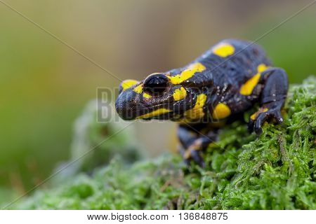 Poisonous Fire Salamander In Its Natural Habitat