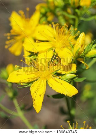 Close photo of yellow blooms of common St John´s wort