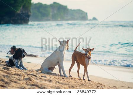 Picture of dogs talking to each other on the ocean sandy beach with tropical outdoors background in Bali