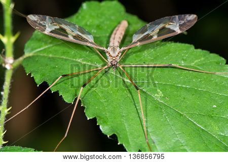 Tipula maxima cranefly head on. Largest British crane-fly in the family Tipulidae showing heavily patterned wings