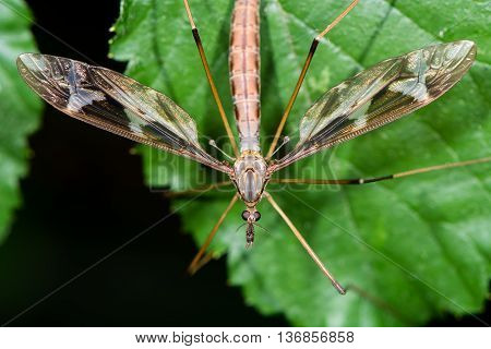 Tipula maxima cranefly. Largest British crane-fly in the family Tipulidae showing heavily patterned wings