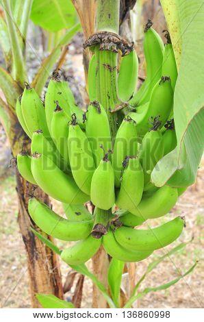 Green banana in the stree in asia