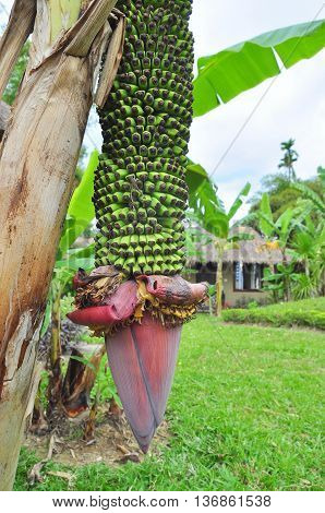 Banana flower in a coutryside in Vietnam