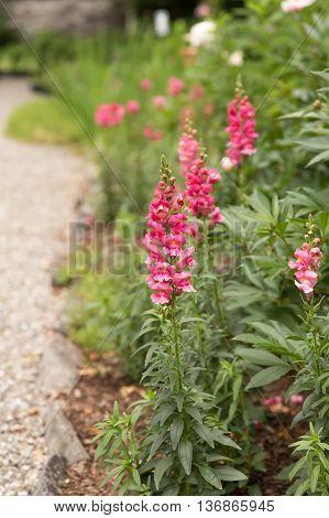 Lovely pink snapdragons in a border garden.