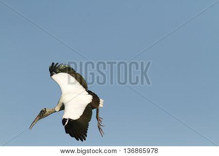 Wood Stork eye contact during banking turn