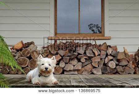 Westie dog on a dirty old timber verandah by a woodpile. Photographed in New Zealand.