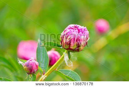 Buds Varietal Peonies In Bloom