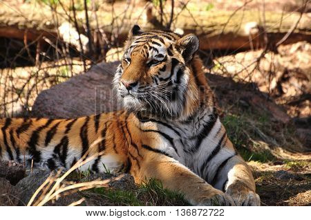 Amur tiger laying in forested mountain region