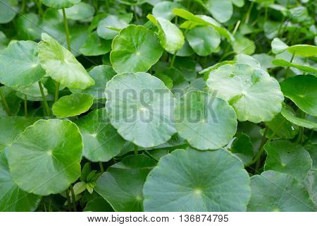 a lot of centella asiatica is herb