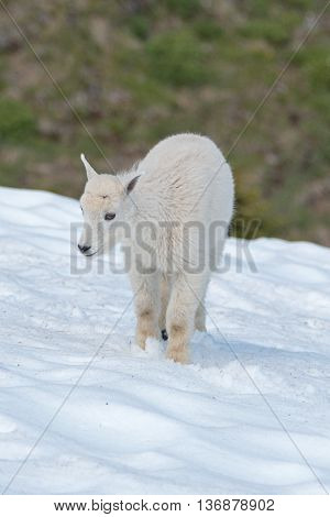 Baby Kid Mountain Goat in the snow on snowfield in Olympic National Park Washington State USA