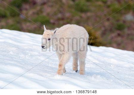 Baby Kid Mountain Goat walking through Hurricane Ridge snowfield in Olympic National Park Washington State USA