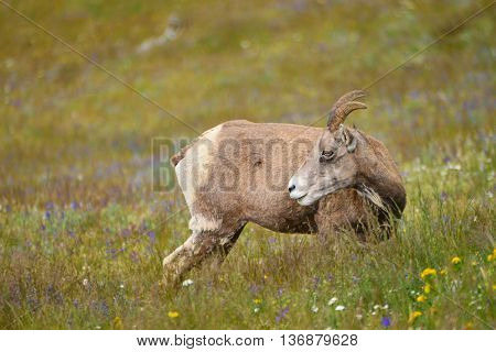Young Big Horn Sheep  In Mount Washburn Hiking Trail, Yellowstone National Park Wy