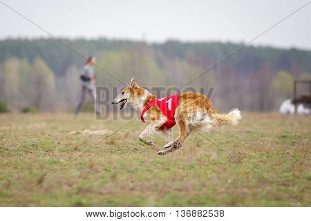 Coursing passion and speed. Russian Borzoi dog running track in a muzzle on the field. sunny day poster