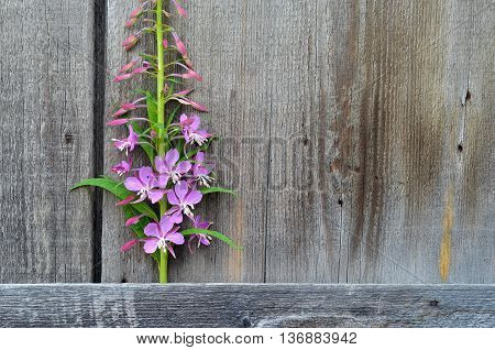 Floral frame with pink blossom on wooden background.Pink flowers Chamérion angustifólium isolated on wooden background