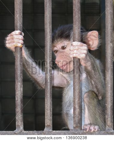 A baby baboon in a cage in a zoo close-up