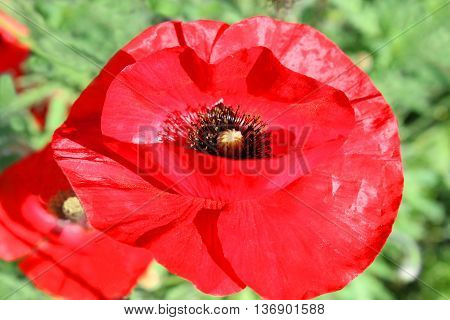 Papaver somniferum. Poppy flower in the park on a bed close up.