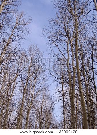Early spring. Spring forest in the background of blue sky.