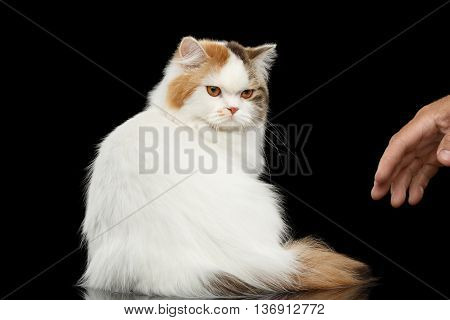 Mad Scottish Highland Straight Cat, White with Red Color of Fur, Sitting and Angry Looks on Human hand, Isolated Black Background, Back view, Grumpy Face