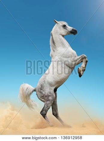 Beautiful gray arab stallion rearing in the desert