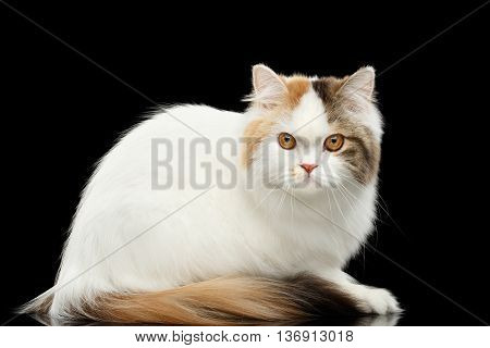 Portrait of Mad Scottish Highland Straight Cat, White with Red Color of Fur, Sitting and Curious Looks, Isolated Black Background, Side view, Grumpy Face