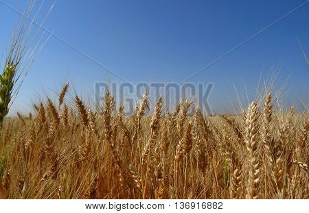 Ripe ears of wheat on agriculture field stock photo