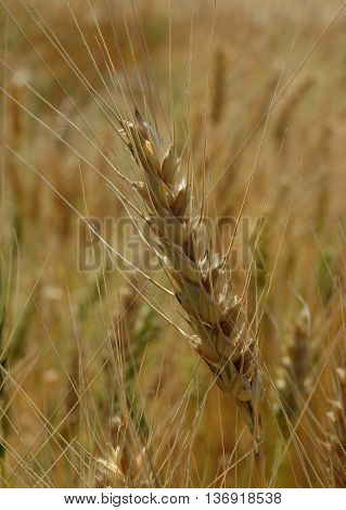 Ripe wheat spike macro shot stock photo