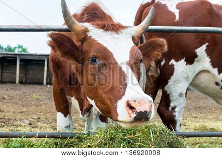Look cow in paddock on the farm. A pastoral picture on the cattle country. Animals on pasture. A herd of colorful cows to the ranch. Good cute ruminants even-toed ungulates.