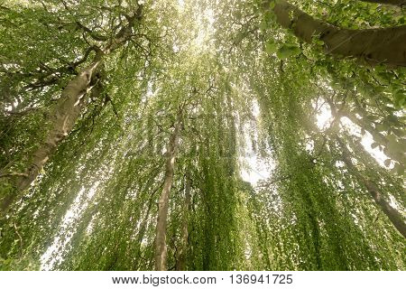 Underneath the canopy of of a mature weeping beech tree. The rooting branches make this tree look like several trees when in fact it is one tree.