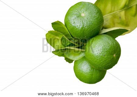 Growing Organic Lemons.Lemon Tree isolated on white background
