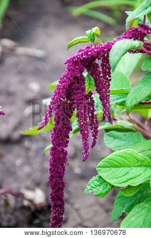 Amaranth Blossoms In Summer Day