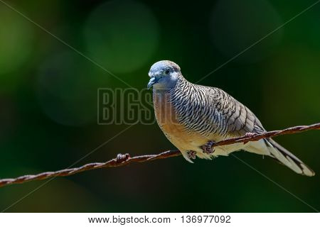 Peaceful Dove (Geopelia placida) close relative of the Barred Ground Dove or Zebra Dove on Barbed Wire Fence. Blurred background.