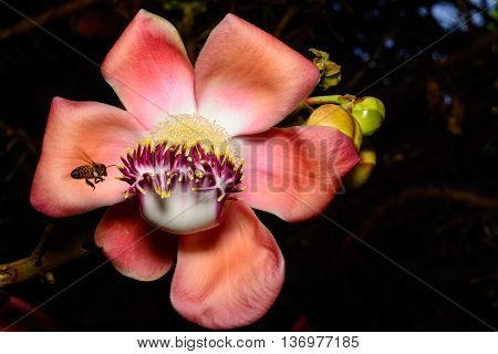 Cannonball tree flower (Couroupita guianensis) Pink with honeybee in flight ready to pollenate