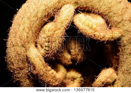 Giant Fern Frond tightly coiled and readying to unfurl