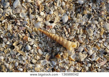 Auger spiral seashell with seashells background in Thailand.